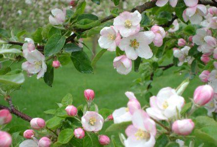 Dégustations dans les vergers en fleurs
