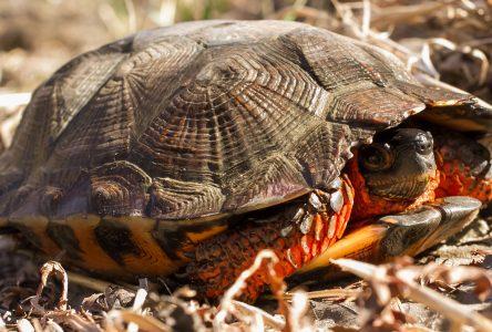 Sainte-Perpétue et Saint-Pamphile, un habitat propice pour la tortue des bois