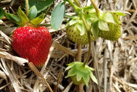 Les fraises arriveront plus tôt que prévu