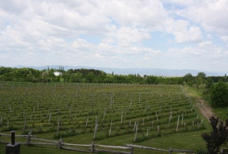Les vendanges auront lieu le 26 septembre au Vignoble du Faubourg