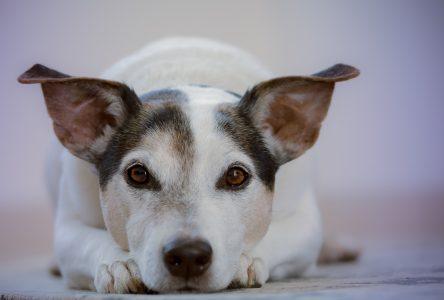 Nouvelles dispositions concernant l'encadrement des chiens à Montmagny